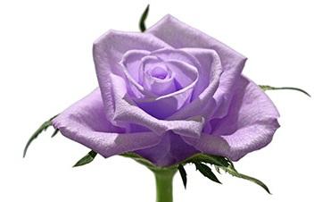 Le Langage Et La Signification Des Roses